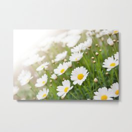 White chamomiles herb flowering plant Metal Print