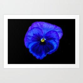 Purple Pansy on Black Art Print