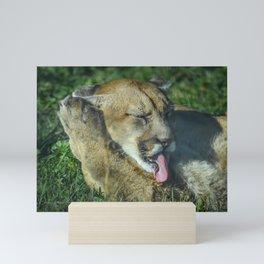 Cougar in the sun Mini Art Print