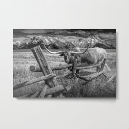 Texas Longhorn Steer by an Old Wooden Fence in Black and White Metal Print