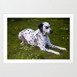 Among the Daises. Kokkie. Dalmatian Dog Art Print