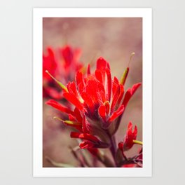 Indian Paintbrush Wildflower Art Print