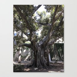 Big Fat Italian Tree Canvas Print