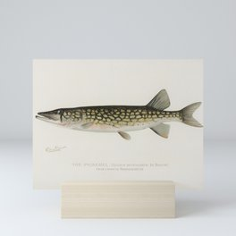Pickerel (Lucius Reticulatus Le Sueur from a pond in Massachusetts) illustrated by Sherman F Denton Mini Art Print