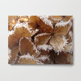 Pee Gee Hydrangea Trimmed with Frost Metal Print