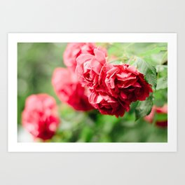 Buds of tea roses hanging in clusters on bushes Art Print