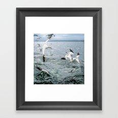 Gannets Diving for fish Framed Art Print