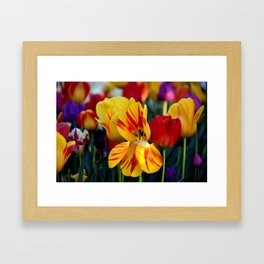 SPRING TULIPS IN THE LATE AFTERNOON LIGHT Framed Art Print