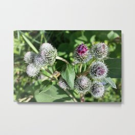 lace over thistle Metal Print