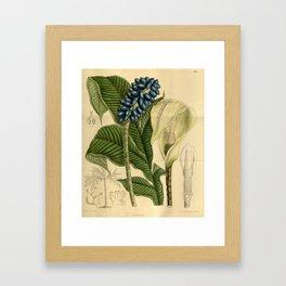 Amorphophallus kerrii/Amorphophallus yunnanensis, Araceae Framed Art Print