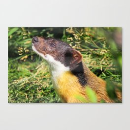 Yellow-throated Marten 1 Canvas Print