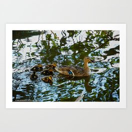 Little Quackers: Mother and Ducklings (Chicago North Pond Collection) Art Print