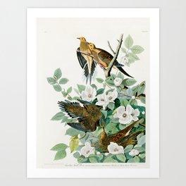 Carolina Turtle Dove, Birds of America by John James Audubon Art Print