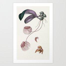 Bulbophyllum Auratum Orchid Art Print