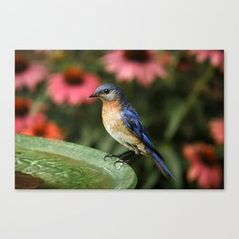 Perched Eastern  BlueBird Canvas Print