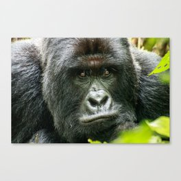 Silverback starring at you Canvas Print