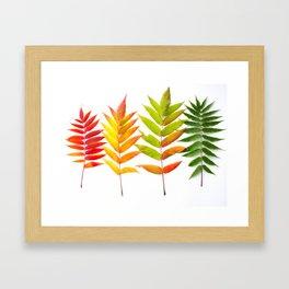 Rainbow Sumac for Autumn in Canada Framed Art Print