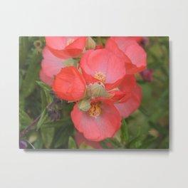 Apricot Mallow Blossoms Metal Print