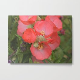 Apricot Mallow Blossoms Metal Print