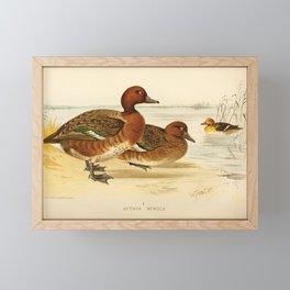 Ferruginous Duck1 Framed Mini Art Print