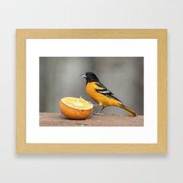 Baltimore Oriole Male on Orange Framed Art Print