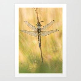 Black-tailed skimmer (Orthetrum cancellatum) Art Print