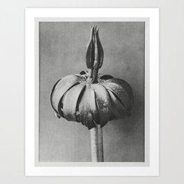 Eranthis cilicica (Winter Aconite) enlarged 8 times from Urformen der Kunst (1928) by Karl Blossfeld Art Print
