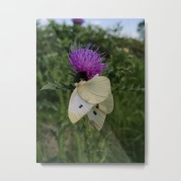 Cabbage White Butterfly on Canada Thistle Metal Print