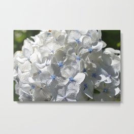 White with blue Hydrangea Metal Print