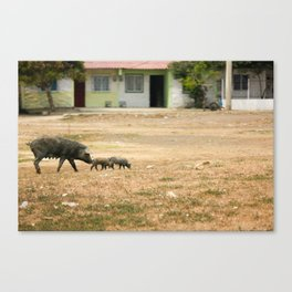 Pigs crossing the Pitch in Cartegena Canvas Print