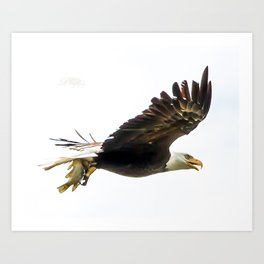 Bald eagle with a crappie Art Print