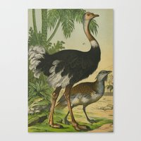 ostrich Canvas Prints featuring Ostrich  by Connie Goldman