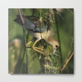 Young Purple Gallinule Metal Print