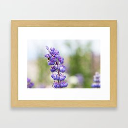 Bumblebee and lupine Framed Art Print