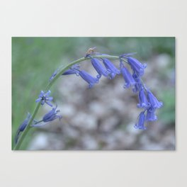 Stand Alone Bluebell Canvas Print