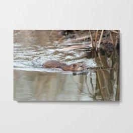 Muskrat Swimming in a Marsh Metal Print