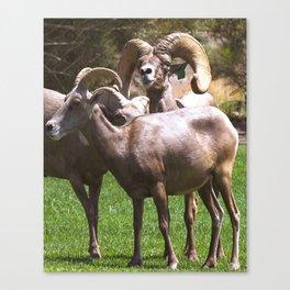 Bighorm Sheep of Nevada Canvas Print