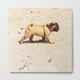 small dog pug baby playing in the summer at the beach Metal Print