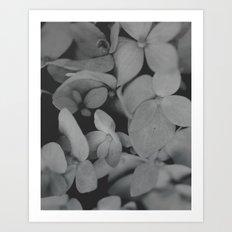 Black and White Hydrangeas Art Print