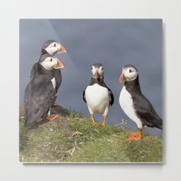 Watercolor Bird, Atlantic Puffins 01, Westman Islands, Iceland, Sunny Tuxedos Metal Print