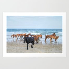 Outer Banks, Corolla, NC, Stallion and his Harem Matted Print Art Print