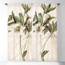 Helleborus orientalis Blackout Curtain