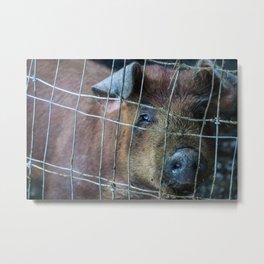 Alaskan Pig Metal Print