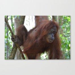 Bukit Lawang Orangutan Sumatra Canvas Print