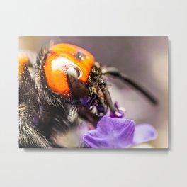 Japanese Giant Hornet, Vespa Mandarinia Japonica, Gathering Flower Pollen, Bee, Insect Macro Photo Metal Print
