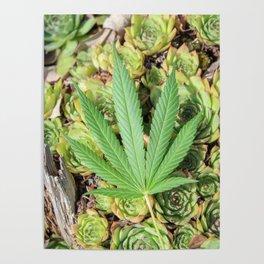 Sativa & Succulents Poster