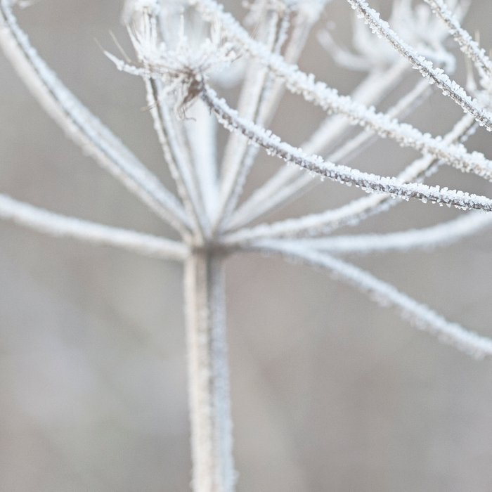 cow parsley plant  with hoarfrost in winter Leggings