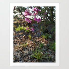Garden designed by the nature - Viscaria vulgaris, clammy campion Art Print