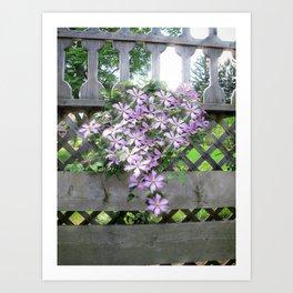 Purple Clematis Flower Vine Basking in Sunlight on a Wooden Garden Arbor Art Print