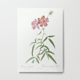 Peach Leafed Rose, Rosa longifolia from Les Roses (1817–1824) by Pierre-Joseph Redouté. Metal Print
